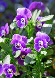 Close up of violets. Stock Photography