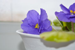 Close up of the violets flowers. Violet closeup of the flowers on the window Royalty Free Stock Photography