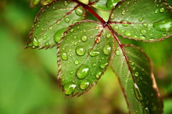 Close up of a vivid green rose leaf with rain water drops with copy space Royalty Free Stock Images
