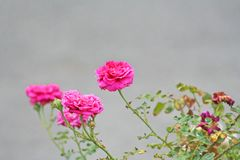 Vivid pink rose in the garden. Close up Vivid pink rose in the garden royalty free stock image