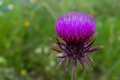 A close up of a vivid purple thistle head, showing the bright fine individual stems royalty free stock photos
