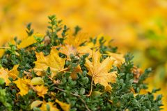 Close-up of vivid yellow fallen autumn leaf on green bush. Autumn has come. Concept of contrast, change of seasons. Place for your text Stock Image