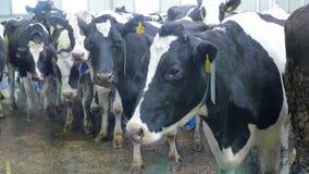 Close-up Vuile koeien die camera onderzoeken stock videobeelden