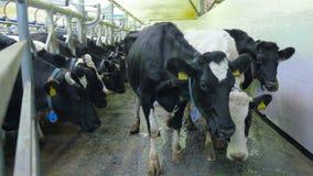 Close-up Vuile koeien die camera onderzoeken stock video