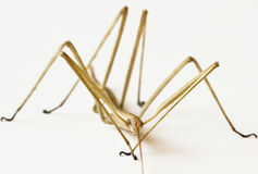 A Close Up of a Walkingstick, Family Phasmatidae Stock Photos