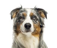 Close-up of an wall-eyed Australian Shepherd looking at the camera,1,5 year old. Isolated on white royalty free stock images
