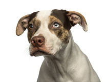Close-up of a wall-eyed crossbreed dog looking away, isolated. On white royalty free stock photo
