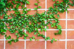Close up wall with Ivy. Close up wall with Ivy, background Royalty Free Stock Images