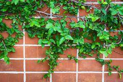 Close up wall with Ivy. Royalty Free Stock Photography