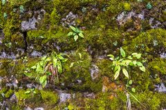 Close-up of a wall with moss. Beautiful close-up of a wall with moss, with the presence also of small green plants royalty free stock photography