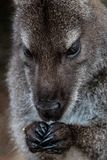Close up of a wallaby in Freycinet National Park, Tasmania, Australia royalty free stock photos