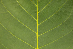 Close-up of a walnut leaf. As a background Royalty Free Stock Images