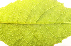 Close up the walnut leaf texture Stock Photos