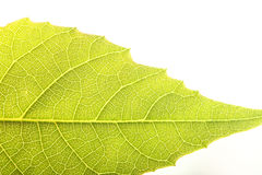 Close up the walnut leaf texture Royalty Free Stock Image