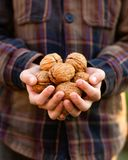 Kid boy hands with walnuts. Autumn harvest. Thanksgiving. royalty free stock photography