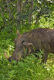 Close up of Wart hog feeding on the grass Royalty Free Stock Images