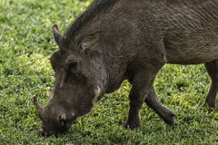 Close up of a wart hog foraging in the grasslands of africa. Close up of wart hog eating in Africa Stock Photography