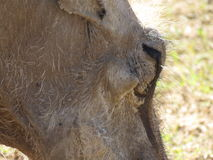 A close up of a warthog. A close up of a warthog in Africa, in the Addo Elephant National Park, in South Africa Stock Image