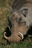 Close up of warthog eating Stock Image