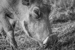 Close up of a Warthog eating. Close up of a Warthog eating in black and white in the Pilanesberg National Park, South Africa Stock Images