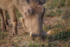 Close up of a Warthog eating. Close up of a Warthog eating in the Pilanesberg National Park, South Africa Royalty Free Stock Photos