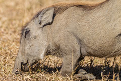 Warthog Eating Knees Animal Wildlife Stock Photo