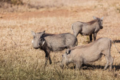 Warthog Eating On Knees Wildlife Stock Photography