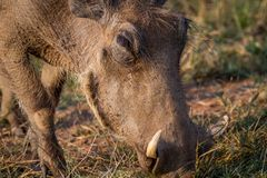 Close up of a Warthog eating. Close up of a Warthog eating in the Pilanesberg National Park, South Africa Stock Images