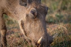 Close up of a Warthog eating. Close up of a Warthog eating in the Pilanesberg National Park, South Africa Royalty Free Stock Image