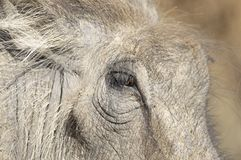 Close up of warthog face Stock Photo