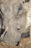 Close up of a warthog face Stock Photo