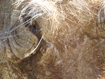 A close up of a warthog from the front. A close up of a warthogs' face in Africa, in the Addo Elephant National Park, in South Africa Stock Photo