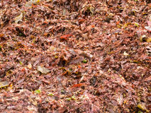 Close-up of washed ashore red seaweeds and algae Stock Images