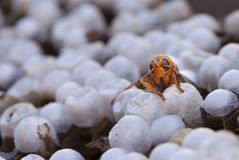 Close up of a wasp emerging from a wasps nest - showing empty ce Stock Images