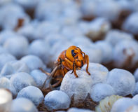 Close up of a wasp emerging from a wasps nest - showing empty ce Royalty Free Stock Photos