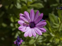 Close-up of a wasp in a flower. Macro Close-up of a wasp in a pink flower Stock Photo