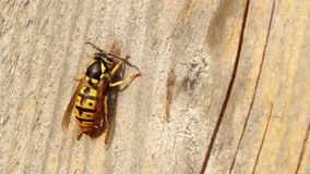 Close up of a wasp stock video footage