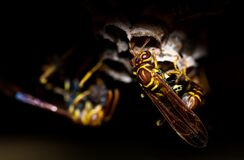 Close up wasp portrait Royalty Free Stock Images