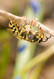 Close-up of wasp on thin branch Stock Photography