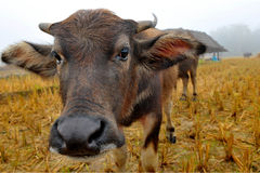 Close up Water buffalo in country field Royalty Free Stock Images