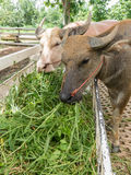 Close up of water buffalo eating hay Royalty Free Stock Images