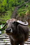 Close up Water Buffalo on trail. Annapurna base camp blocked by a loan water buffalo Royalty Free Stock Photography