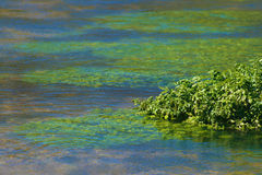 Close up of Water Cress. Growing in a natural flowing river stock photo