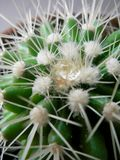 Close up water drop in cactus needles royalty free stock images