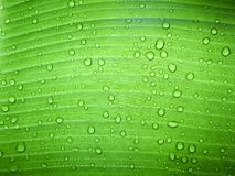Close up water drop on green banana leaf after rain. royalty free stock photos