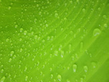 Close up water droplet on banana leaf. Water droplet on banana leaf Royalty Free Stock Image