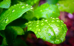 Close up of water drops on green leaves Stock Photo