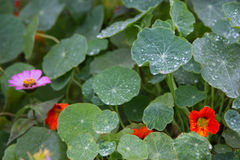 Close up of water drops on green round leaf with another blurred leaves, flowers in background Stock Photography