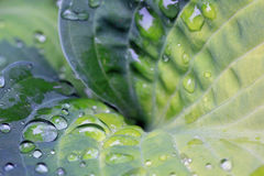 Close up of water drops on hosta leave. Close up of water drops on a hosta leave after raining Stock Images