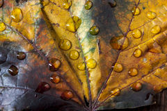 Close up of water drops on maple leaf. Royalty Free Stock Photography